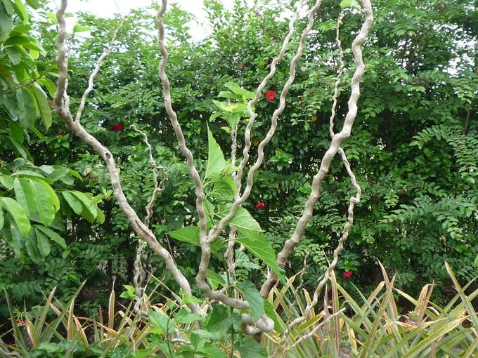 云龙桑(园艺观赏树)农场景观与生态环境