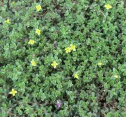 小型馬齒莧草