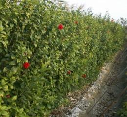 綠色植物籬笆  Green Hedge