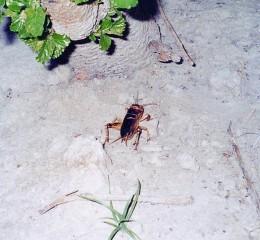 蟋蟀(油葫蘆、土伯仔)  Cricket