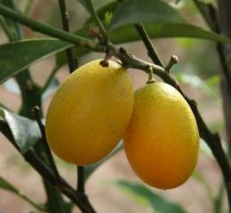 金棗  Oval Kumquat