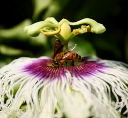 蜜蜂  Bee