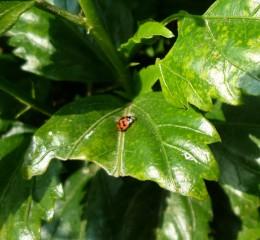 瓢蟲  Ladybug