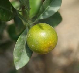 金桔  Round Kumquat