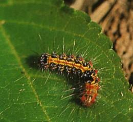 毛毛蟲  Caterpillar