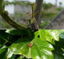 天敵防治法:生態平衡   益蟲克制害蟲