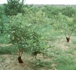 在檸檬樹幹基部包裹布料或廢輪胎,以防天牛幼蟲環狀鑽食韌皮部。